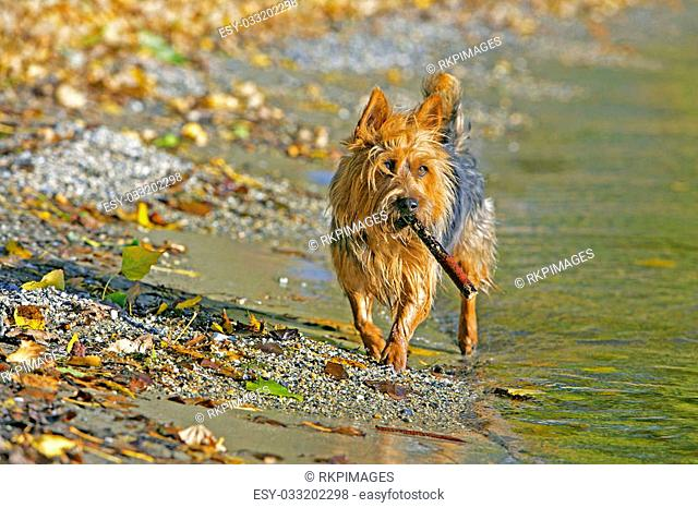 Australian Terrier at lakeshore playing with stick