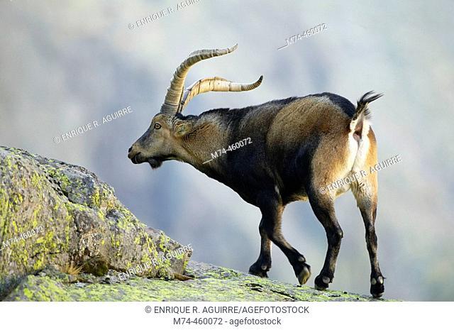 Spanish Ibex (Capra pyrenaica victoriae), Sierra de Gredos. Ávila, Castilla-León, Spain