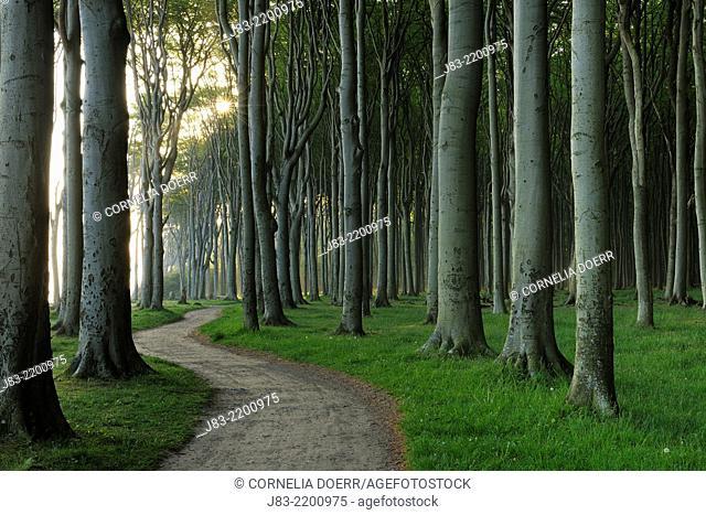 Footpath throught beech forest in the morning , Nienhagen, Mecklenburg-Vorpommern, Germany