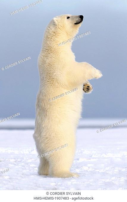 United States, Alaska, Arctic National Wildlife Refuge, Kaktovik, Polar Bear (Ursus maritimus), standing up