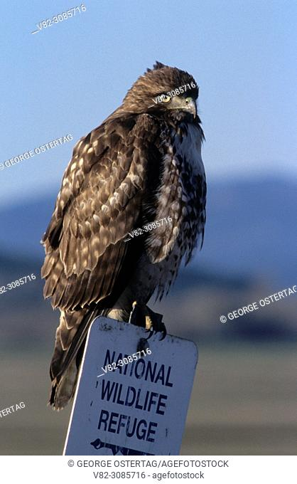 Red-shouldered hawk, William Finley National Wildlife Refuge, Oregon