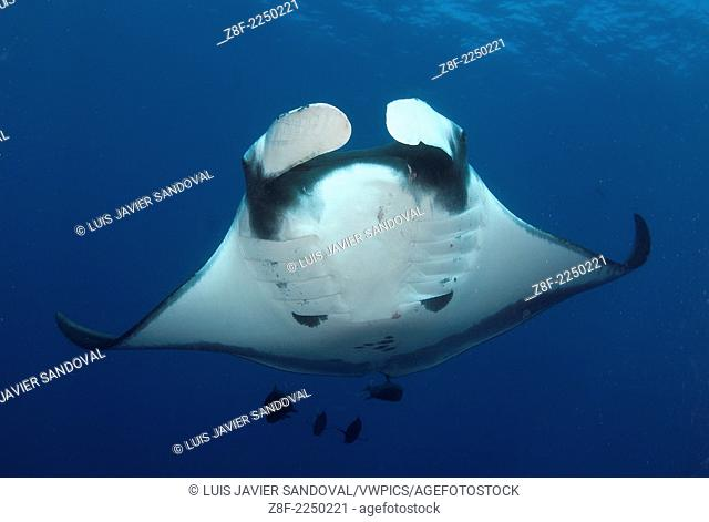Manta Ray, Manta birostris, and clarion angelfish on a cleanning estacion, Socorro Island, Revillagigedo archipelago, Pacific ocean, Mexico