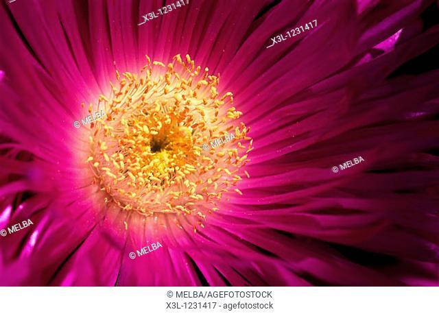 Flower of Formentera Formentera The Balearic Islands Spain