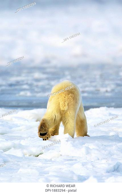 Polar Bear Ursus Maritimus Shows His Unique Footprint Design As He Walks Away In Search Of Food, Churchill, Manitoba, Canada