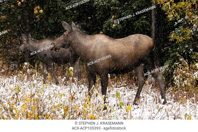 Cow moose and calf standing in autumn vegetation with first snows starting to fall. (Alces alces). Alaska, North America
