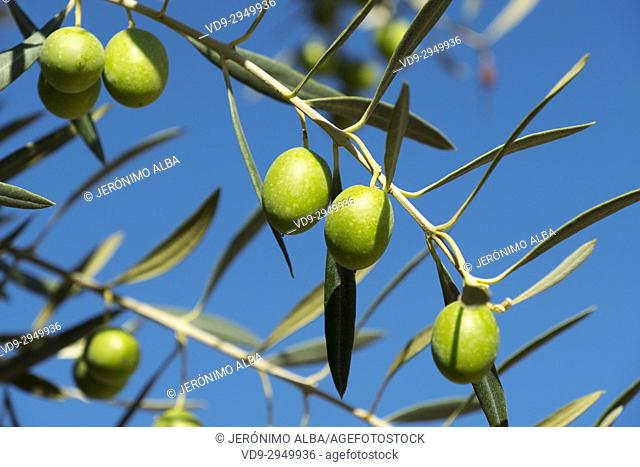 Olives on an olive tree blue sky background, Antequera. Málaga province, Andalusia. Southern Spain Europe