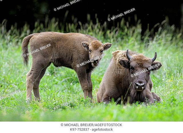 European Bison, Bison, Bison bonasus, Cow with calf, Germany