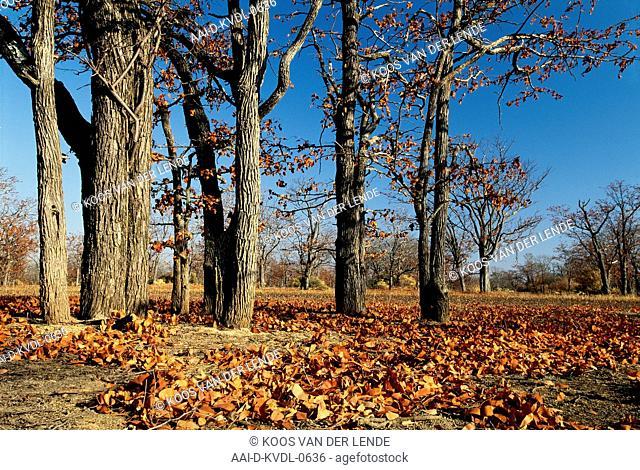 Mopane trees, Kafue National Park, Lusaka Province, Zambia