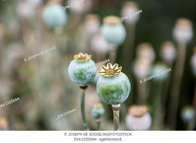 Seed heads of poppy flowers in a garden