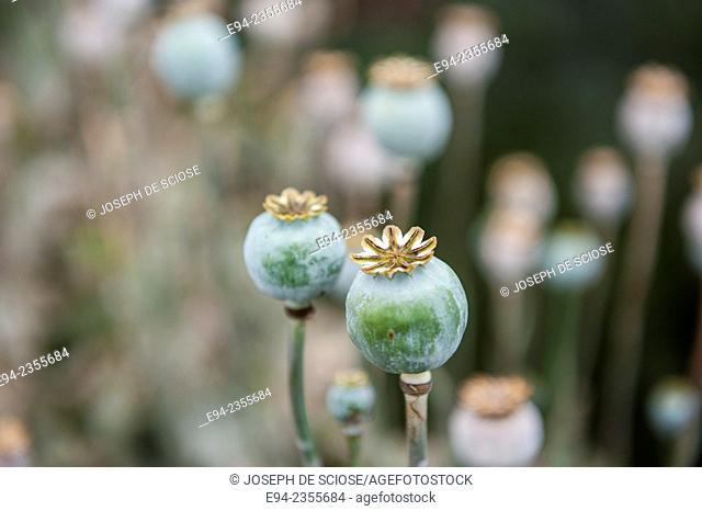Seed heads of poppy flowers in a garden