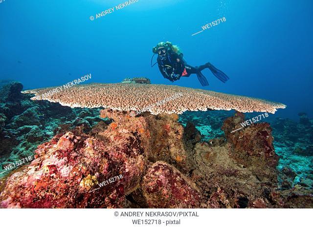 Female scuba diver look on Table coral (Acropora sp. ) Indian Ocean, Maldives