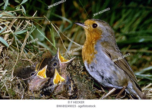 European robin Erithacus rubecula, at the nest with begging birds, Germany