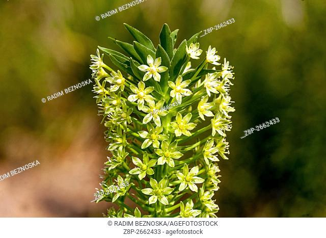 Eucomis pallidiflora Pole -Evansii, pineapple flowers