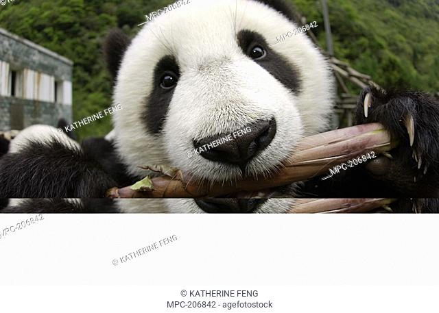 Giant Panda Ailuropoda melanoleuca, endangered, close-up of young Panda learning to eat bamboo, at the China Conservation and Research Center for the Giant...