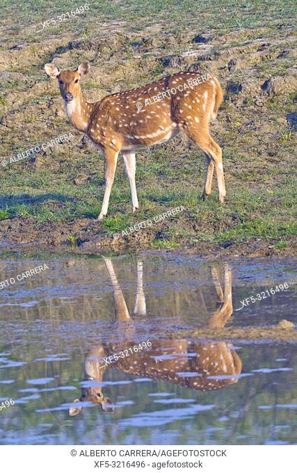 Spotted Deer, Cheetal, Axis Axis, Axis Deer, Royal Bardia National Park, Bardiya National Park, Nepal, Asia