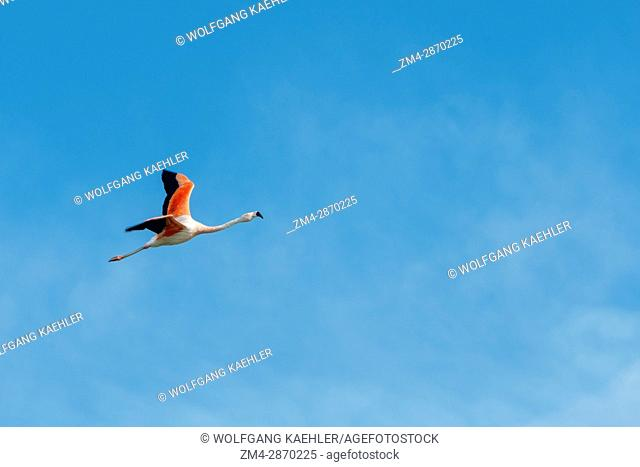 A Chilean flamingo (Phoenicopterus chilensis) is flying over the Laguna Nimez Bird Sanctuary in El Calafate, Argentina