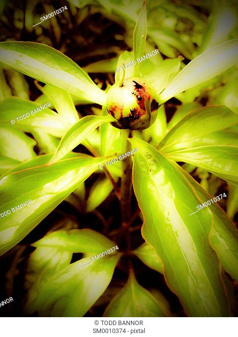Peony flower bud with ants