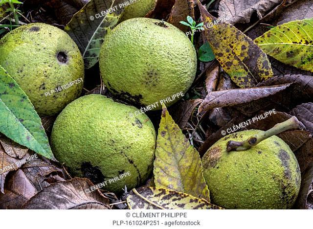 Fallen green husks / walnuts of the eastern black walnut (Juglans nigra) tree on the forest floor, native to eastern North America