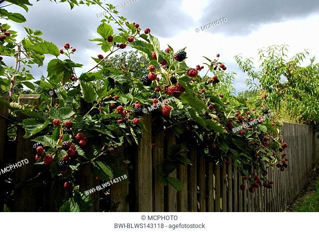 shrubby blackberry Rubus fruticosus, with fruits
