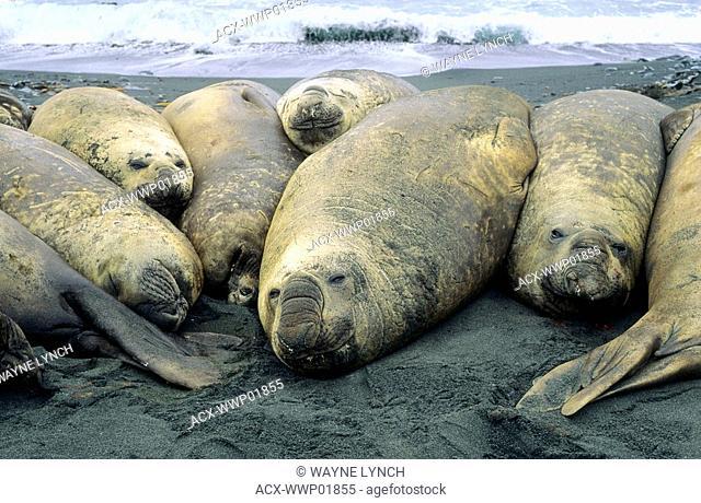 Southern elephant seal Mirouanga leonina bulls basking on the beach, Macquarie Island, Sub-Antarctic Australia