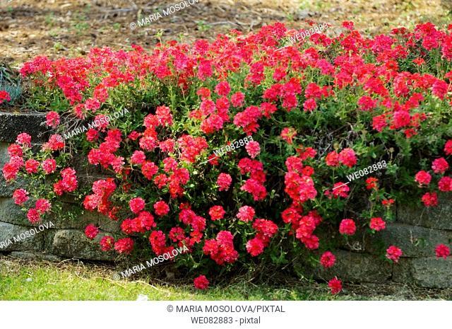 Verbena. Verbena x hybrida. March 2008. Maryland, USA