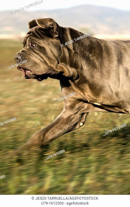 Neapolitan Mastiff Portrait trotting across the field