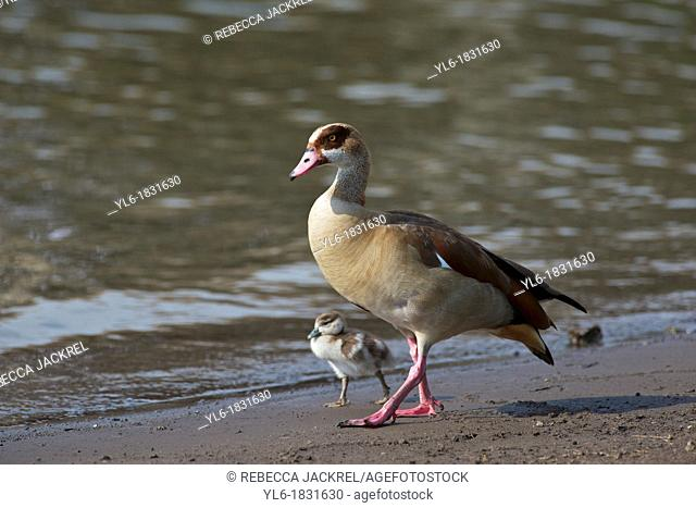 An Egyptian goose walks with her chick on the shore of a lake in Ethiopia