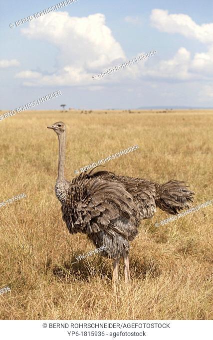 female Ostrich Struthio camelus standing in savannah, Masai Mara, Kenya