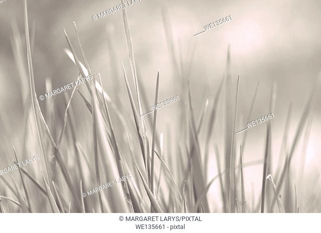 Young grass close up in grey background