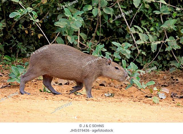 Capybara, (Hydrochoerus hydrochaeris), young walking on shore, Pantanal, Mato Grosso, Brazil, South America