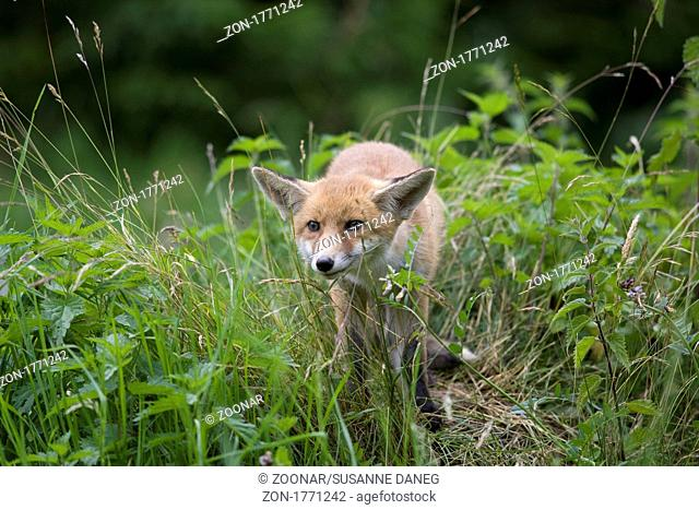 young red fox threaten