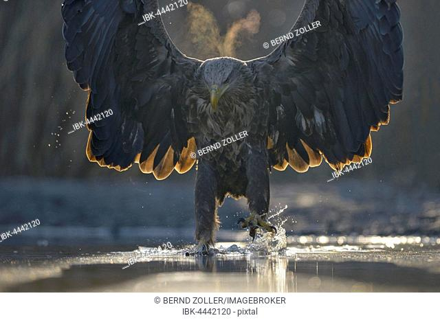 White-tailed eagle (Haliaeetus albicilla), adult hunting in pond, spread wings, condensing breath, Kiskunság National Park, Hungary
