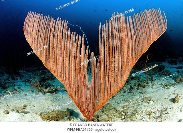 Sea Fan Coral, Ctenocella pectinata, Similan Islands, Andaman Sea, Thailand