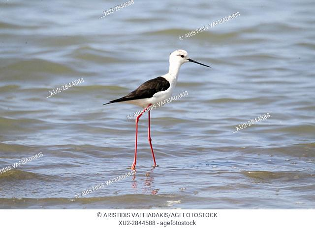 White-headed Stilt (Himantopus himantopus leucocephalus) wading in shallow water in the lagoon of Mesologgi Greece