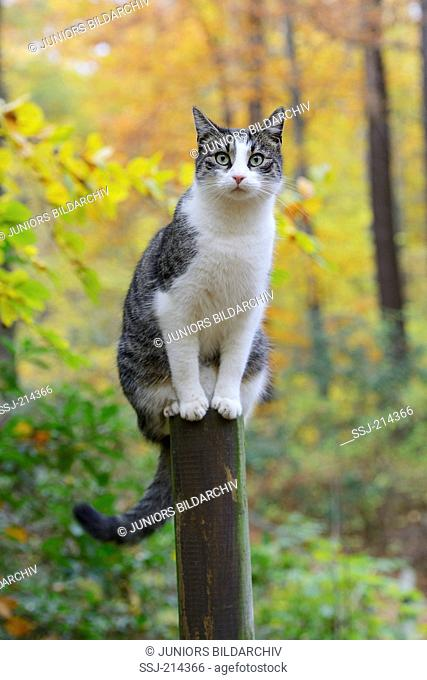 Domestic cat. Gray-and-white adult sitting on wooden post. Germany