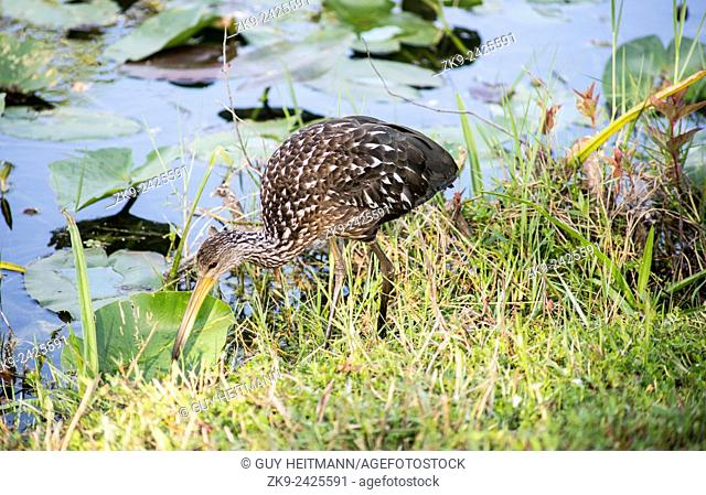Long-billed Curlew, Everglades NP, FL