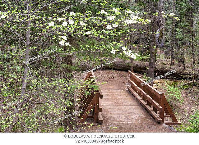 Dogwood Blossom over walking Bridge, Sequoia NP, USA