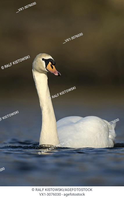 Elegant Mute Swan ( Cygnus olor ) in best light, swimming close by, wildlife, Europe.