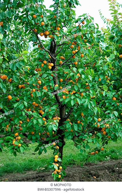 apricot tree (Prunus armeniaca 'Goldrich', Prunus armeniaca Goldrich), cultivar Goldrich, apricots on a tree