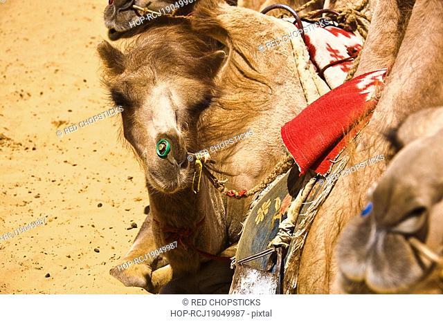 Close-up of Bactrian camels Camelus bactrianus, Kubuqi Desert, Inner Mongolia, China