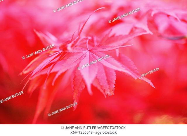 Atmospheric and Dreamy Red Maple Tree, Rich and Abundant
