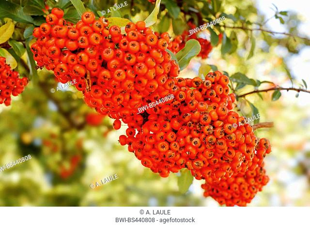 fire thorn, scarlet firethorn, burning bush (Pyracantha coccinea), branch with red fruits