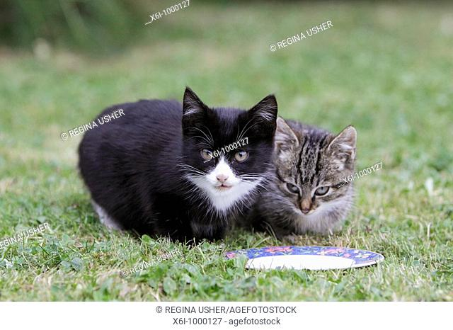 Cat, two young kittens, waiting for food in garden