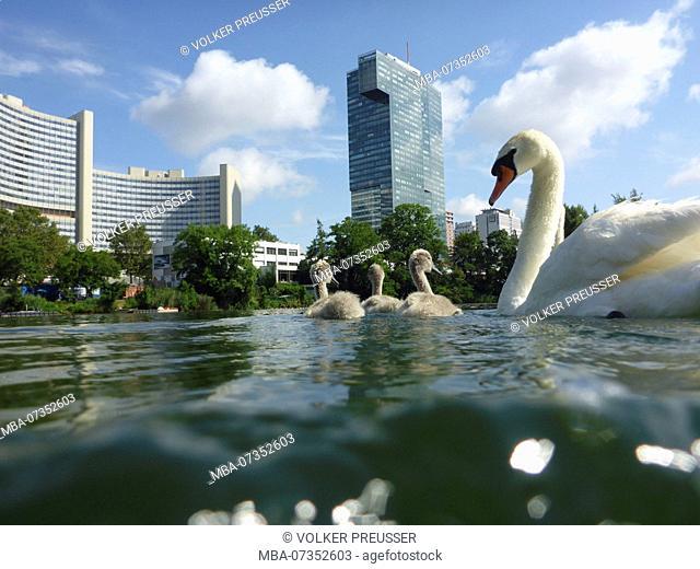 Wien, Vienna, family of mute swans with cygnets (Cygnus olor) at lake Kaiserwasser, Vienna International Center (UNO), 22. Donaustadt, Wien, Austria
