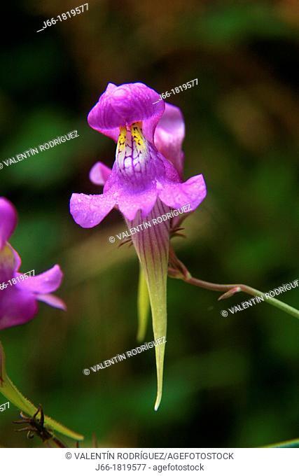 Linaria triornithophora flower  Navia valley, Arbón  Asturias