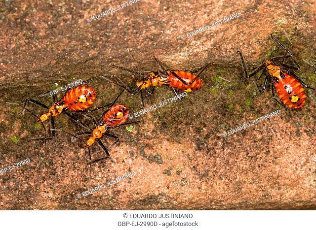Nymph of Hemíptero Predando Ant-saúva, Predatismo, São José das Missões, Rio Grande do Sul, Brazil