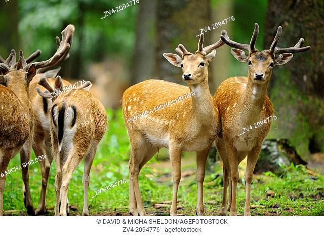 Close-up of a group of fallow deer (Dama dama) male standing in the forest