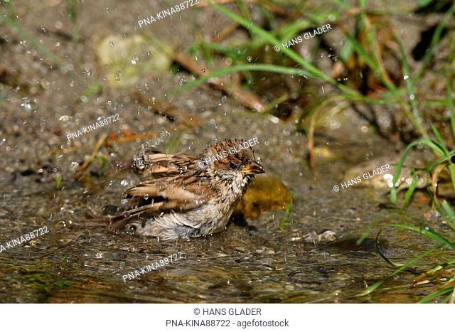 Eurasian Tree Sparrow Passer montanus - Austria, Europe