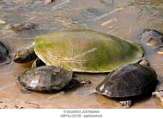 Tracajá, Turtle-give-Amazonian, Turtle of River (Podocnemis sp), Manaus, Amazonas, Brazil