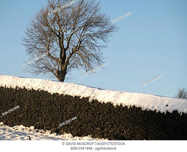 hedge and tree in snow,near Matlock,Derbyshire,Britain (December 2014)